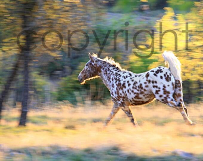 Spotted Pony, Bay Leopard Appaloosa Stallion Equine Fine Art Print
