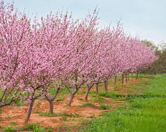 Peach Tree Row