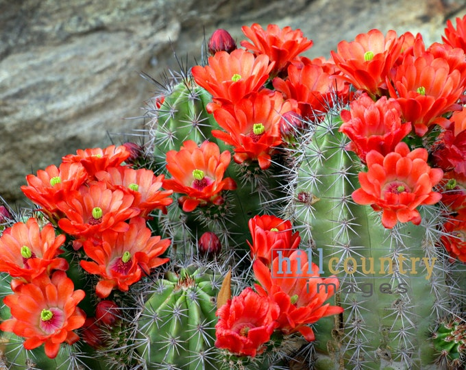 Red Cactus Blooms, Texas Hill Country wildflowers, original signed art print, nature, floral, red, green, grey, wall decor prints