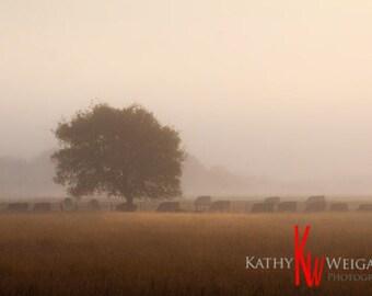 Black Angus Cattle in Fog
