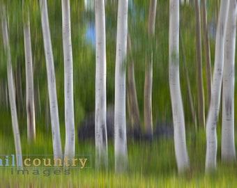 Colorado Aspens Abstract