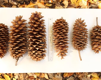 Giant Sugar Pine Cones 6 Cones for Rustic or Natural Decor or Craft Projects