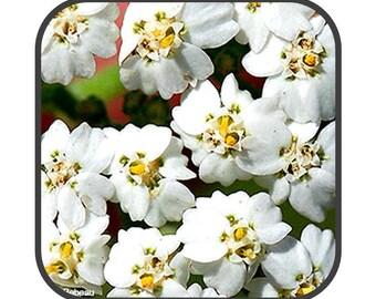 Yarrow Flower - Achillea millefolium