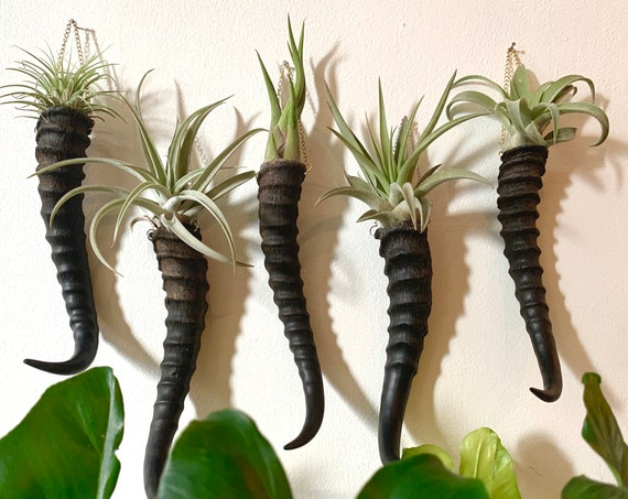 Wall Hanging Air Plant Holder / Springbok Horn and Chain / Boho Eclectic Air Plant Holding Wall Decor / With or Without Plant Ready to Ship