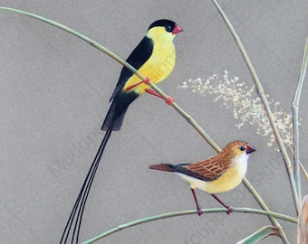 Realistic BIRD ARTWORK Print 'Shaft Tailed Whydah' pair Chalk Pastel DRAWING Couples Gift African wall art decor natures room art colourfull