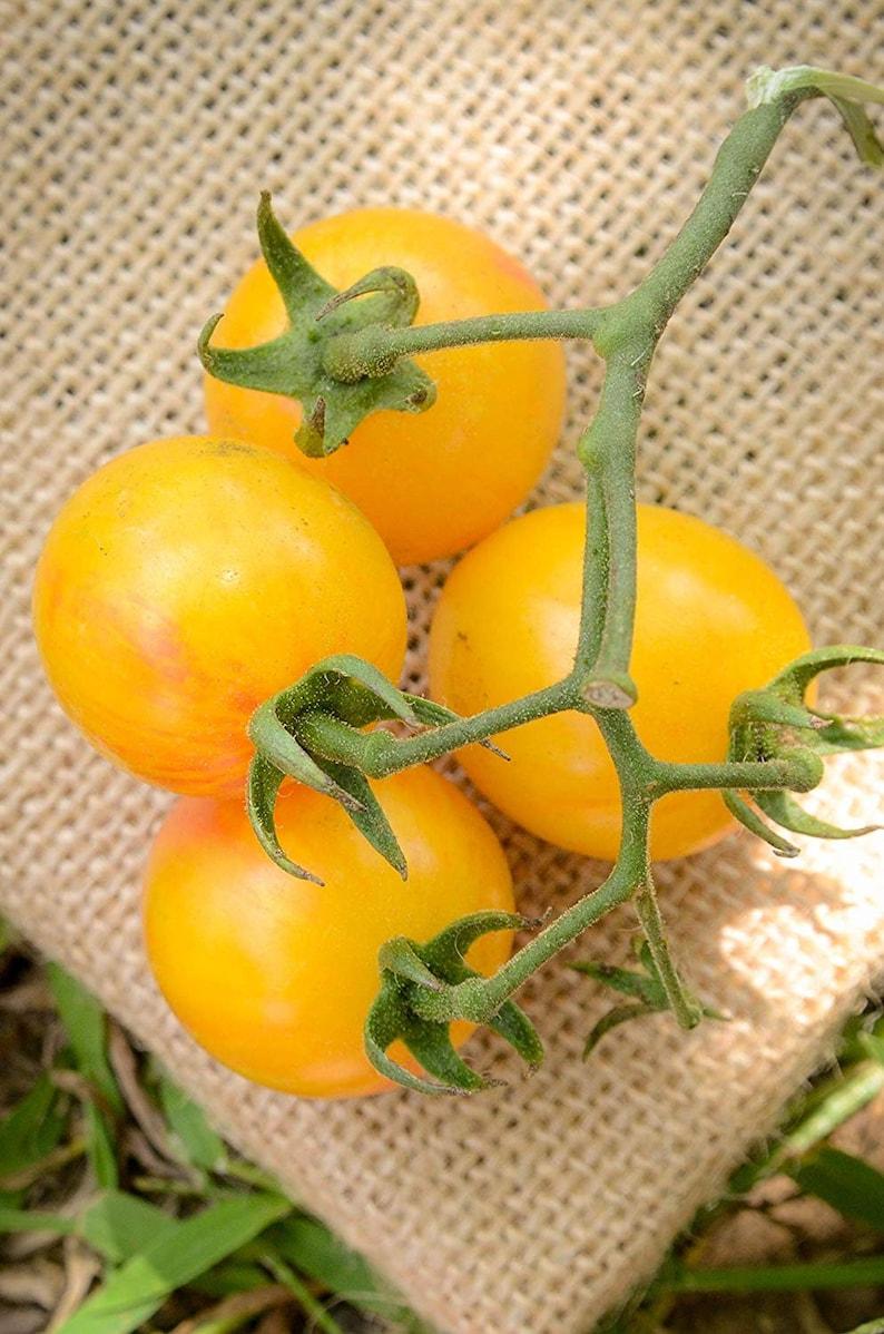 Sunrise Yellow and Red Bumblebee Heirloom Cherry Tomato Premium Seed Packet
