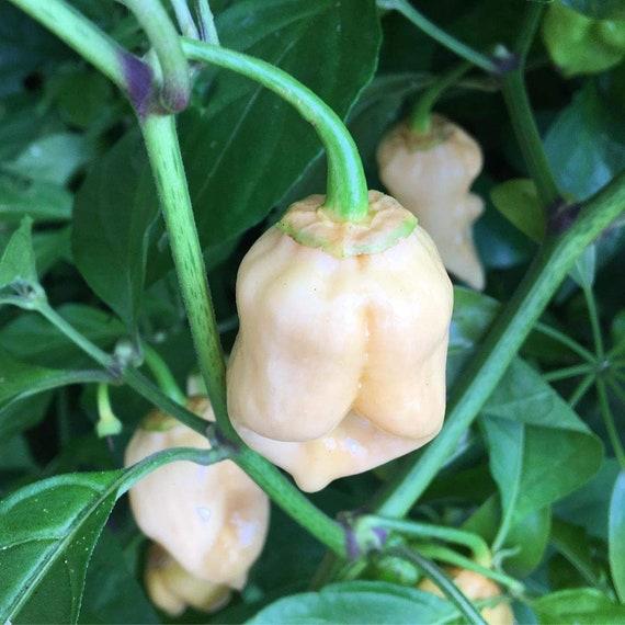 7 Pot White Hot Pepper Organic Non-GMO 24 Seeds