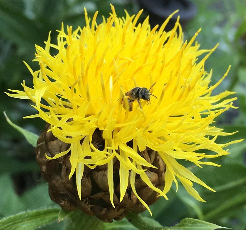 Yellow Armenian Basketflower Knapweed Premium 10 Seed Packet