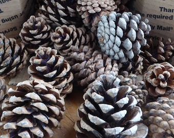 Pinecones! 31 pine cones for your DIY holiday decor. 2 - 3 inches tall. all natural. varied sizes, small to large from same long needle pine