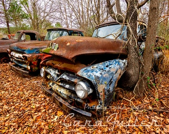 Photograph of a 1955 Rusty Blue/Black Ford & 1957 Red/Blue F100 Truck with a Tree Growing in the Wheelwell