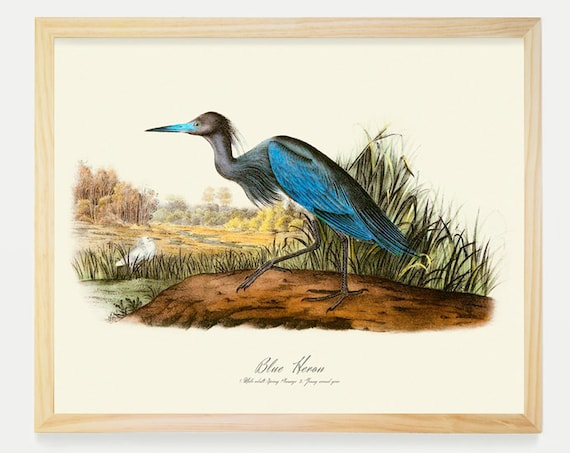 Blue Heron - Ornithological Art Print - Heron Print -  Audubon Art - John James Audubon Art Print
