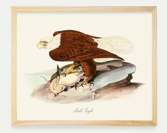 Bald Eagle - Bald Eagle Art Print - Ornithological Art Print - Vintage Bald Eagle -  Audubon Art - John James Audubon Art Print