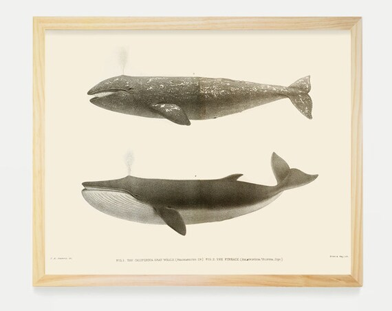 Whales - California Grey Whale - Fin Back Whale - Historical Illustration - Antique Prints - Natural History Art - Bathroom Art