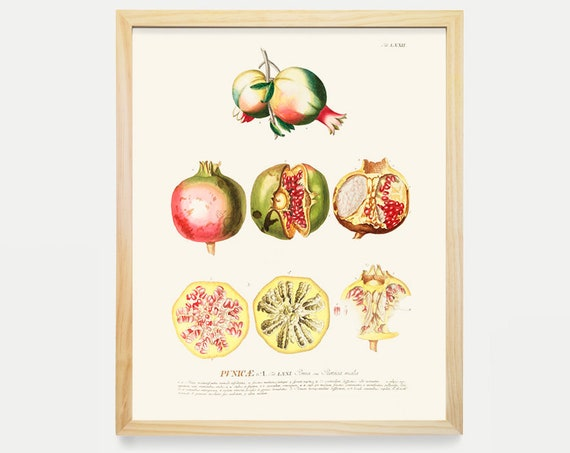 Pomegranate - Fruit Drawing - Plant Drawing - Historical Illustration - Antique Prints - Bathroom Wall - Garden Art