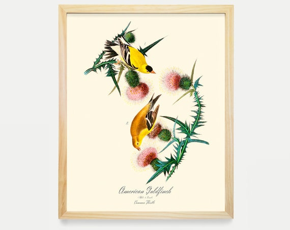 Goldfinch Print, Audubon Bird Print, Ornithological Art Print, Bird Art,  Audubon Art, John James Audubon, Art Print, Nature Wall Art