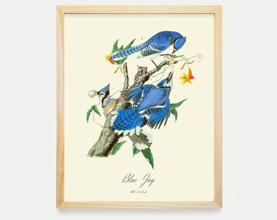 Blue Jay - Audubon Blue Jay - Blue Jay Art - Bird Poster Ornithological Art Print - Crow Print -  Audubon Art - John James Audubon Art Print