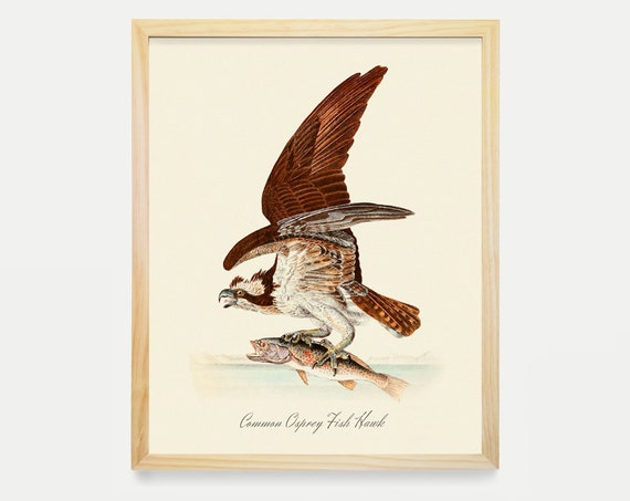 Hawk Art Print- Audubon Bird Print - Ornithological Art Print - Antique Bird - Audubon Art - John James Audubon Art Print
