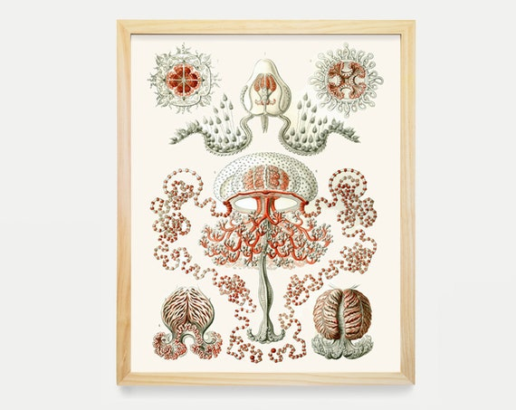 Jelly Fish - Natural History Illustration - Ernst Haeckel - Ocean Art - Aquatic Life - Art Print - Beach House Decor - Beach Wall Art
