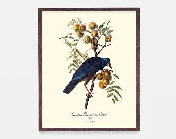 Crow - Ornithological Art Print - Crow Print -  Audubon Art - John James Audubon Art Print