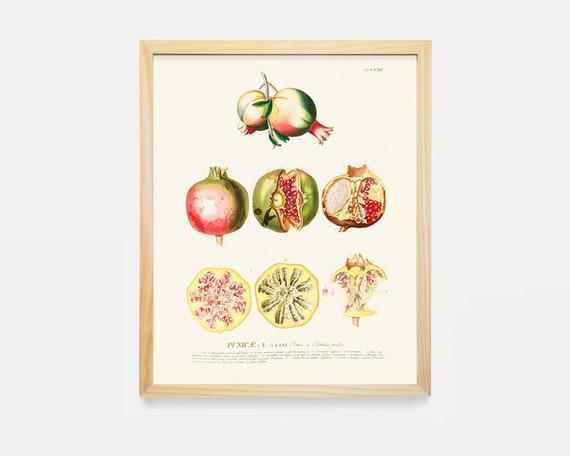 Grenade dessin de fruits plante dessin illustration etsy - Grenade fruit dessin ...