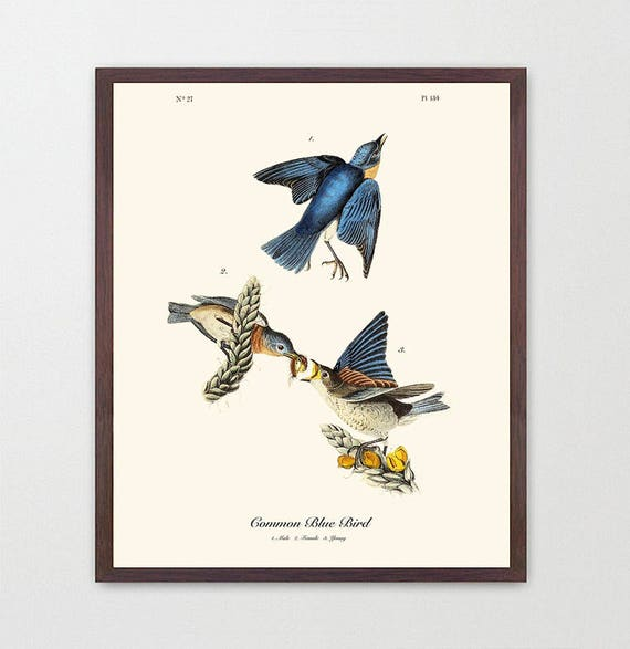 Bluebird - Audubon Bird Print - Ornithological Art Print - Antique Bird Art-  Audubon Art - John James Audubon Art Print - Audubon Bluebird