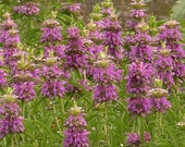 100 Lemon Mint Bee Balm 100 Seeds Fragrant Herb - Deer resistant Monarda Citriodora. Annual
