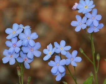 "250 Forget Me Not (Myosotis Alpestris)* Vivid Blue!  Hgt. 12"" 250 Seeds"