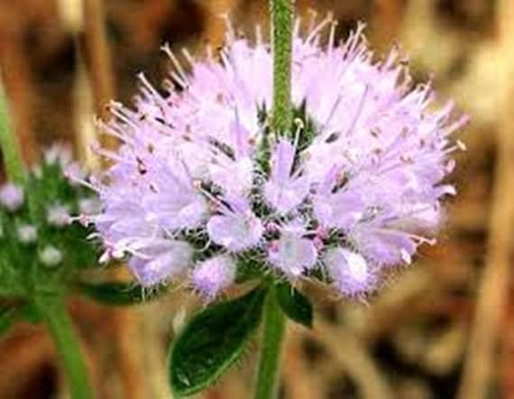 2500 Seeds Herb Pennyroyal