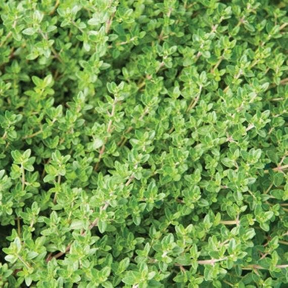 flavoring herb 1000 SPEARMINT spear mint SEEDS mentha spicata