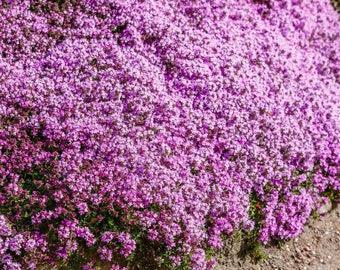 "5000 Creeping Thyme * 5000 Seeds  Perennial - Deer resistant! - Lemon Scented Groundcover- Purple Flowers - 6-12"" Tall. Thymus Pulegioides"