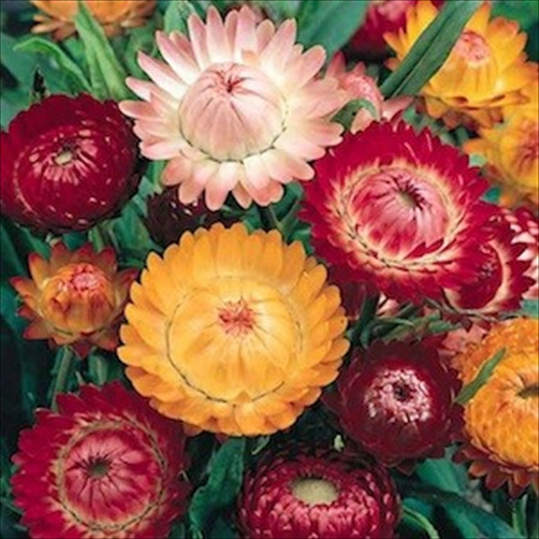 Strawflower Swiss Giants Mixpaper Daisy 100 Seeds Etsy