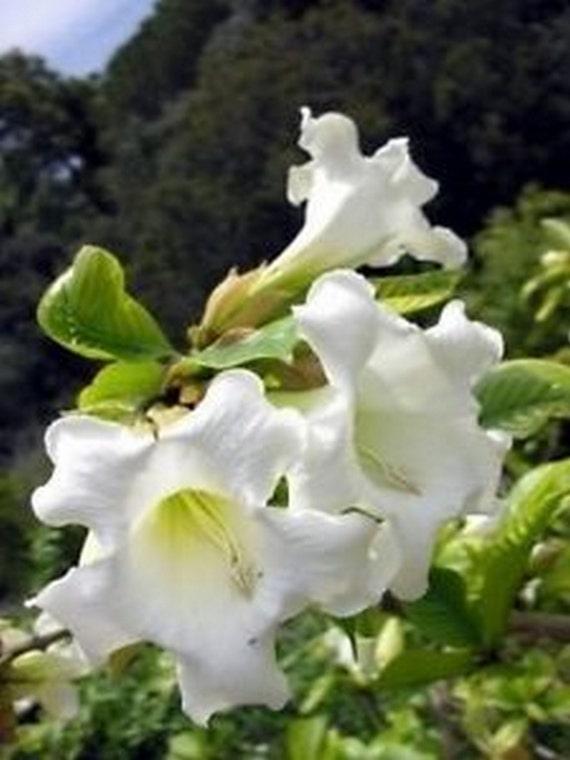 Easter lily vine heralds trumpet vine seeds etsy image 0 mightylinksfo
