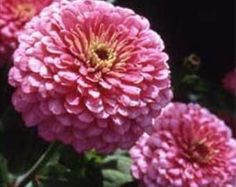 Zinnia Elegans Luminosa Pink * Dahlia Flowered!! 50 Seeds ...seeds galore