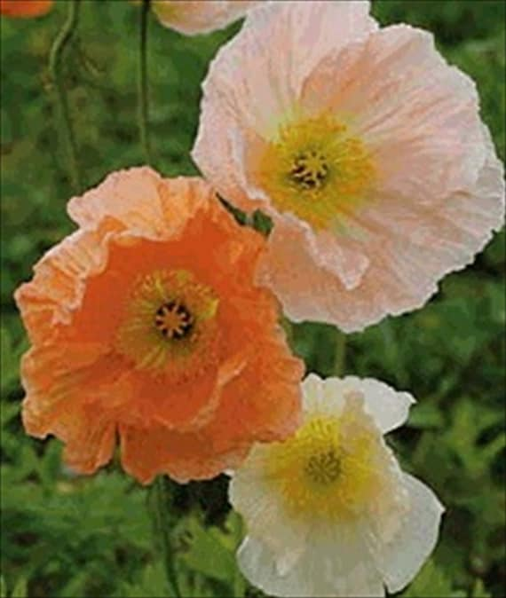 10000 iceland poppy mix meadow pastels 10000 etsy image 0 mightylinksfo
