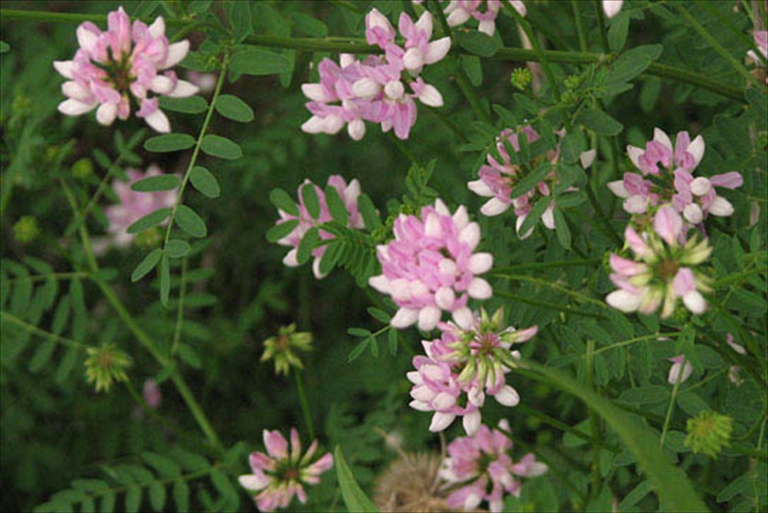 100 crown vetch perennial groundcover 100 seeds great etsy zoom izmirmasajfo