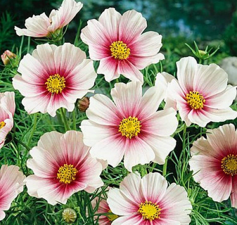 Cosmos Daydream Delicate Pink Flowers 50 Seedssmos Etsy