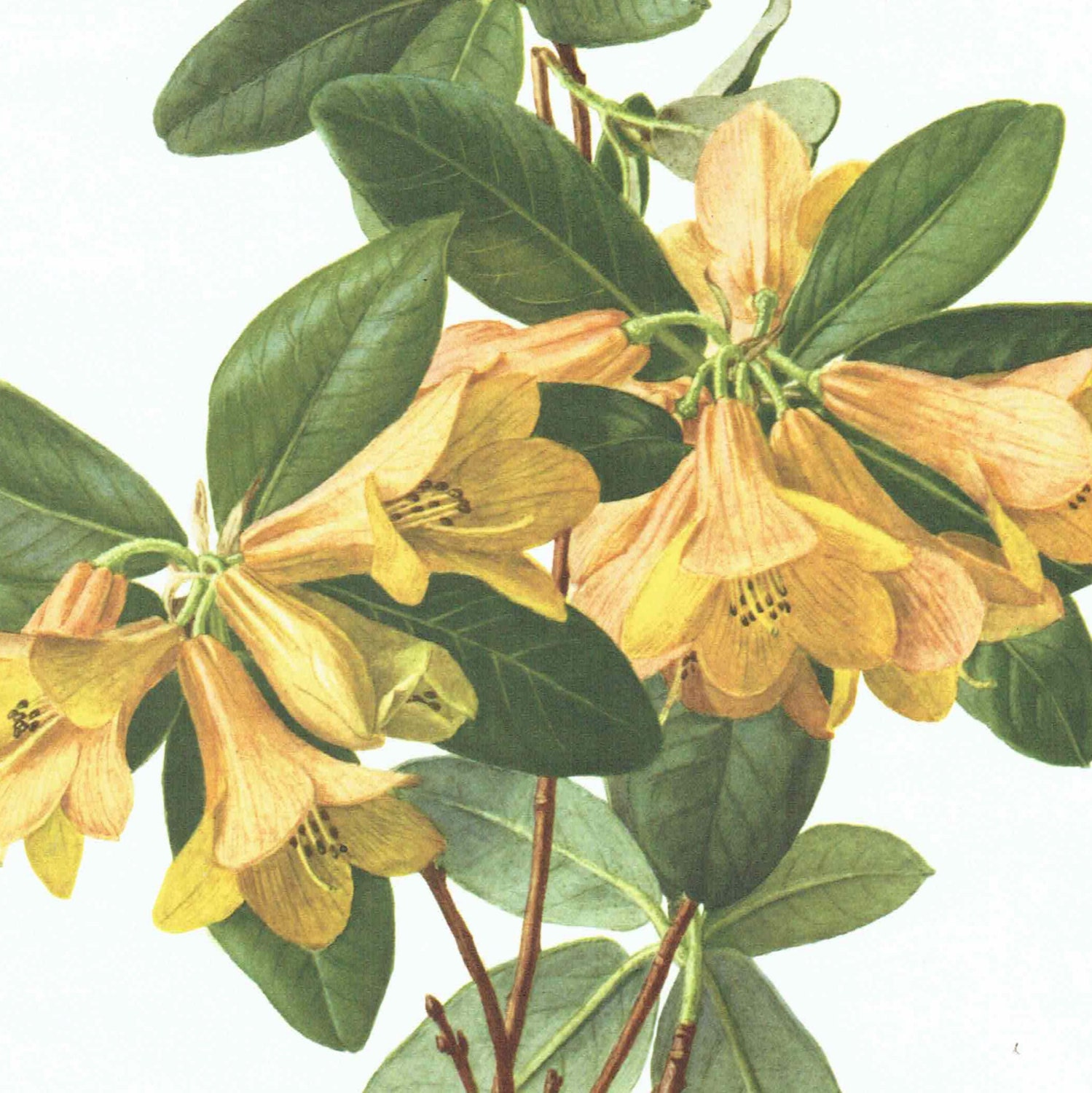 Large Vintage Flower Print Of Rhododendron Concatenans Painted By