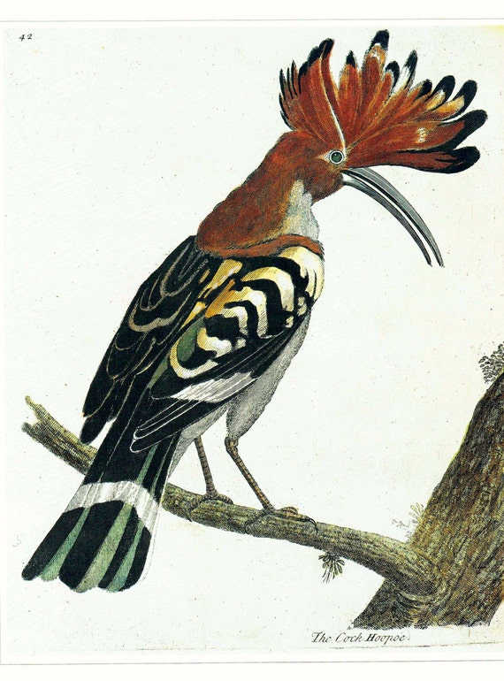 Large vintage print of Hoopoe bird, beautifully detailed and colored, matted for framing, 11 x 14 inches, published 1990