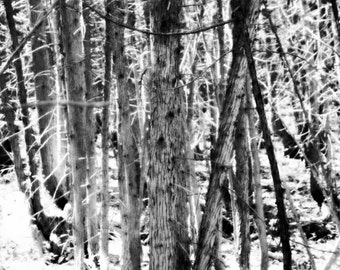 White Tree Forest Art Picture Poster Photo Print 9TRE