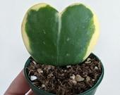 Hoya Kerrii Variegata- Variegated 39 Sweetheart 39 Hoya- 39 Lucky Heart 39 Hoya- Albomarginata Hoya- Single Leaf 3 quot