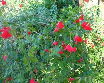 Black Currant Sage (Baby Salvia) live plant (Ornamental)