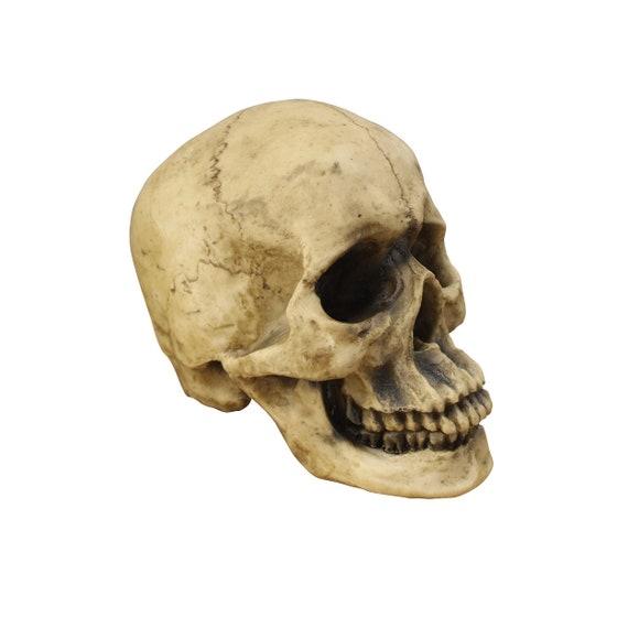 Life Size Human Skull Realistic Human Skeleton Head By Wall Etsy