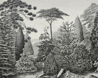 1897 Antique print of TREES: CONIFERS, different species. Botany Print. Pine trees. 121 years old plate