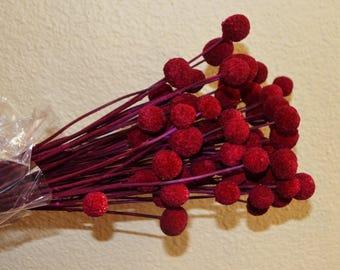 Craspedia, Billy Balls, Cranberry craspedia, Drumsticks, Dried flowers