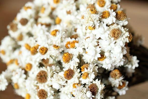 Ammobium dried ammobium dried white flowers etsy image 0 mightylinksfo
