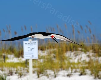 Flying Black Skimmer // Florida Bird Photograph // Beach Photography