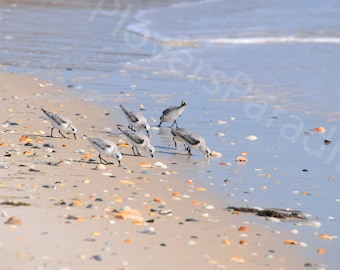 Sanderlings on the Beach // Shorebird Photograph // Florida Beach Photography