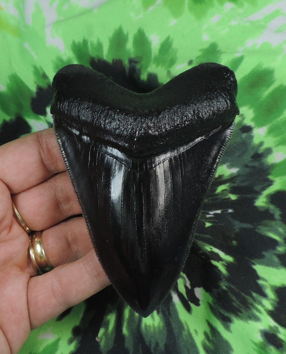 Very Nice 5 1//8 Megalodon Tooth Replica