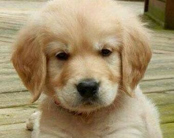 Golden retriever puppy, cross stitch pattern, counted cross stitch, puppy cross stitch, pattern keeper, PDF pattern, dog cross stitch
