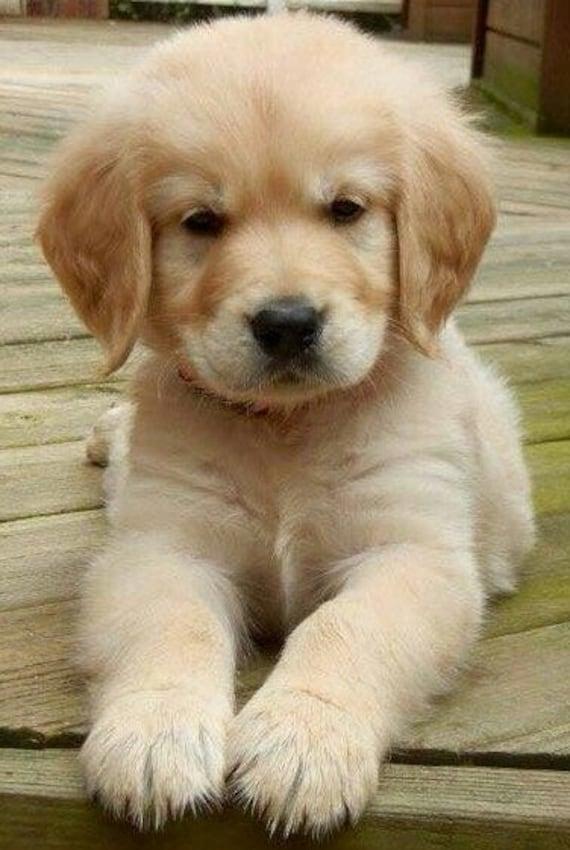 Golden Retriever Puppy Cross Stitch Pattern Counted Cross Etsy